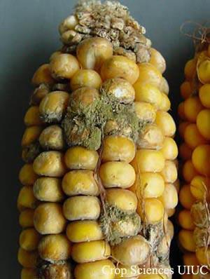 Fig. 1  Aspergillus ear rot,   from University of Illinois