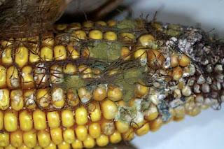 Fig. 2 Aspergillus ear rot, Alison Robertson, Iowa State University,  http://www.ipm.iastate.edu/ipm/icm/2005/9-19/aflatoxin.html