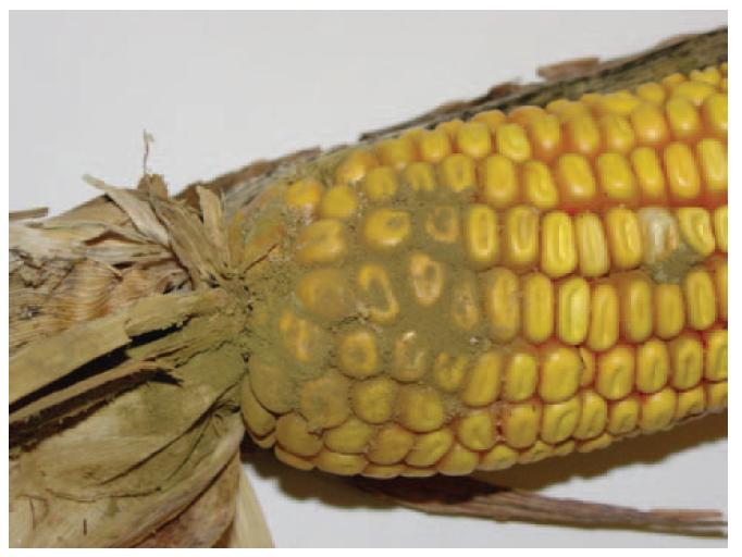 Fig. 4 Aspergillus ear rot, Purdue University,  http://www.extension.purdue.edu/extmedia/BP/BP-83-W.pdf