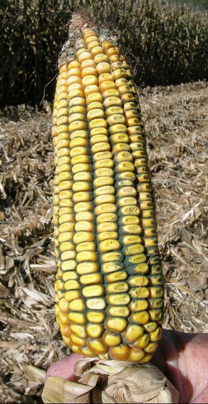 Fig. 5 Trichoderma ear rot.