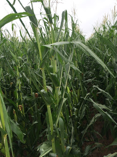 Hail damage to corn in blister stage. Credit: Tyler Reynolds, Farmer.
