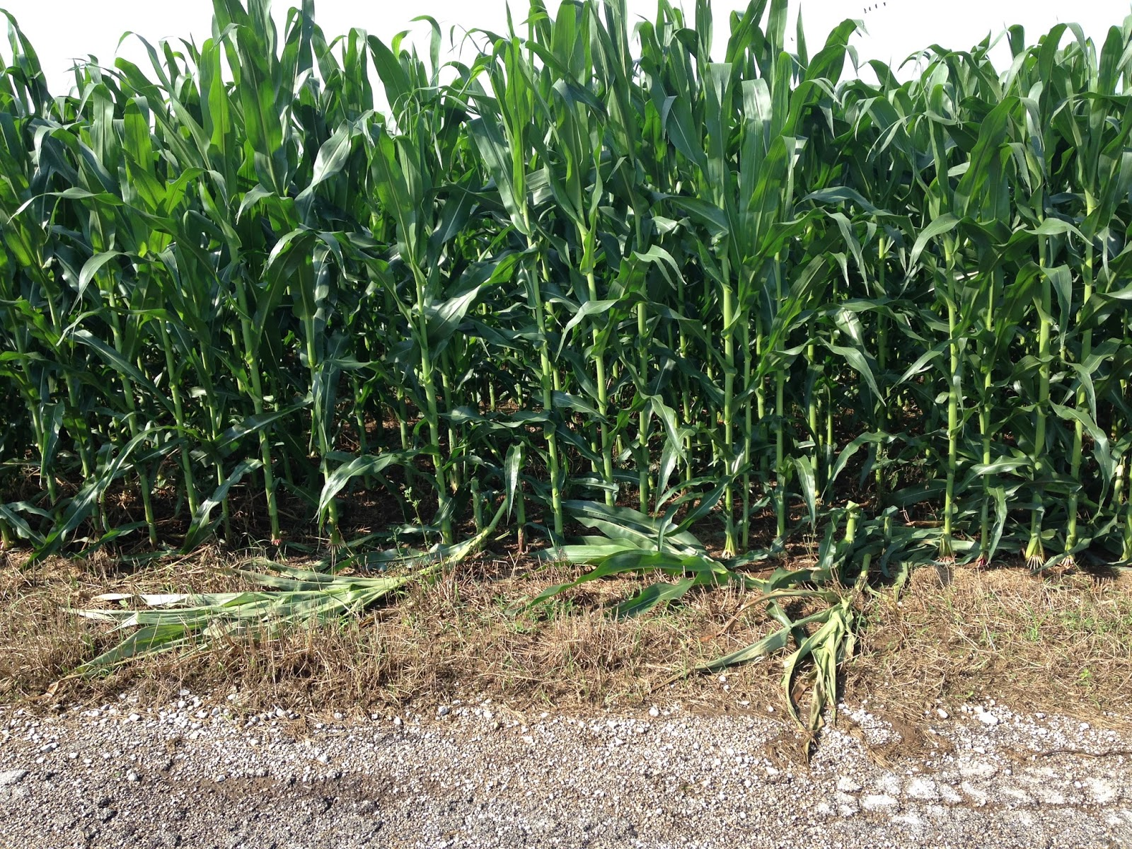 Green snap on corn at edge of field.Small area of the whole field was damaged.Minimal yield losses overall.Credit: Julie Baniszewski, UK Ag grad student.