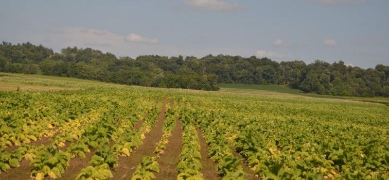 Tobacco in very wet soils. Plants are stunted. Credit: Carol Hinton, Breckinridge County.