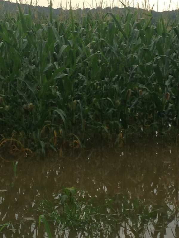 Flooded Corn, Butler County.Image taken July 8, 2016 by Greg Drake, ANR Extenion Agent.