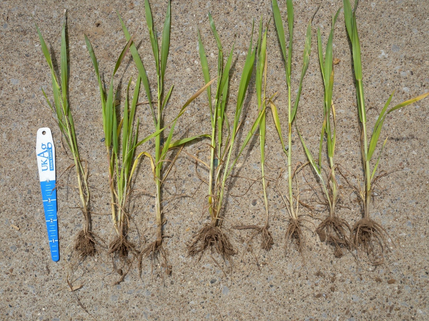 Wheat plant with greatly reduced root system. Photo: Brenda Kennedy, Plant Disease Diagnostic Laboratory, Princeton.
