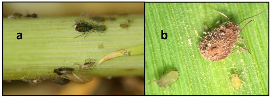 Figure 1. (a) Several stages of bird cherry oat aphids, and (b) an adult aphid killed by an unidentified epizootic entomopathogen. This entomopathogen wiped out an aphid outbreak in 2017. (Photo credits: Yaziri Gonzales).