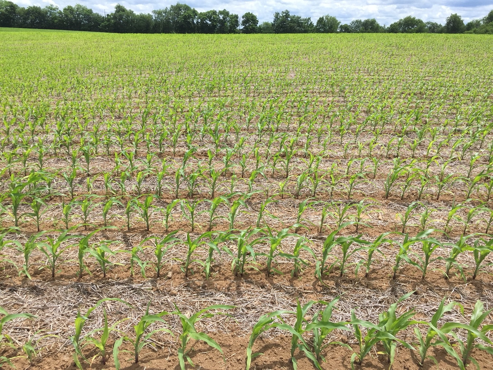 Corn seeded less than one-inch deep in is resulting in nutrient deficiencies in this field. With a little rain and sunshine, this field will grow out of problem in seven days.