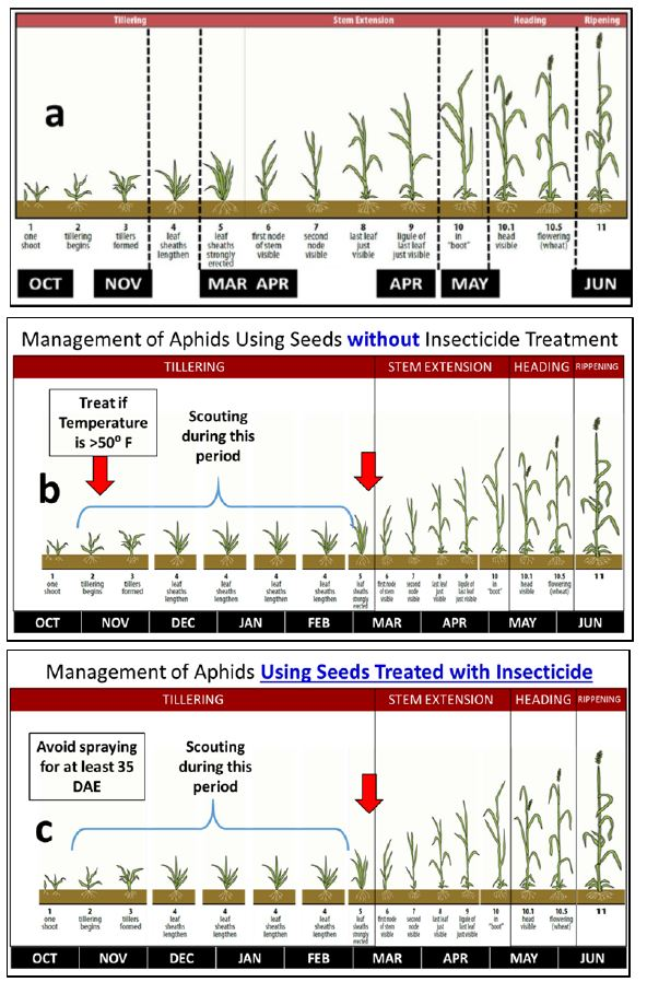 "Figure 1. Feekes scale of wheat development (a) ""classical"" display, and modified display adjusted to time in months to spray against aphids in wheat planted using seeds (b) with-out and (c) with insecticide seed treatment. Red arrows indicate the ""potential neces-sary"" insecticide spray periods for controlling aphids."