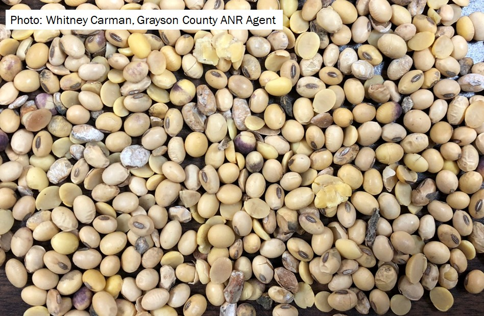Figure 2. Soybean seed harvested in Central Kentucky in early October.