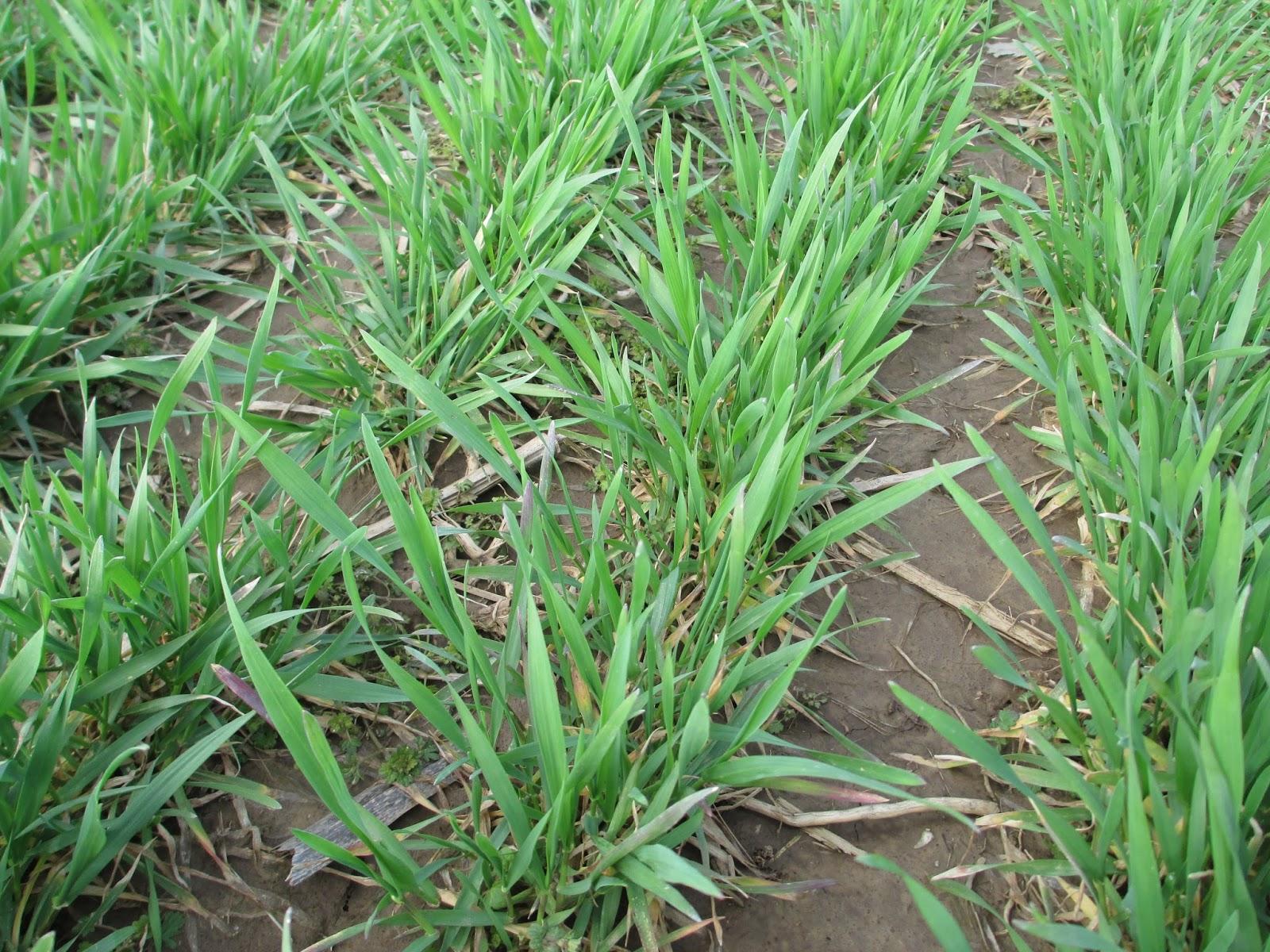 wheat emergence.JPG