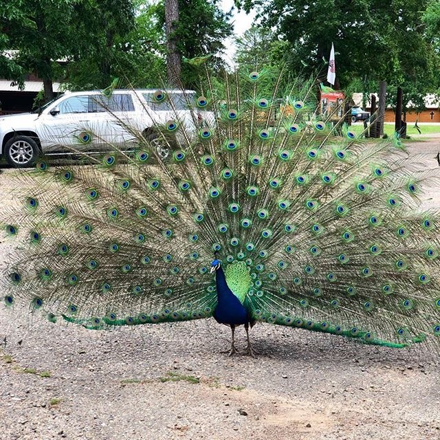 Someone was showing off at @hochatownzooandrescue 🦚