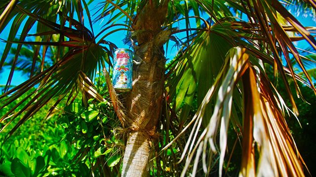 Observe: a young Sky Juice. Ripening in the tree. #thatsprettyneat #drinkskyjuice #neature #science #coconut