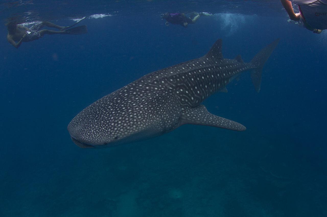 whale-shark-09.jpg