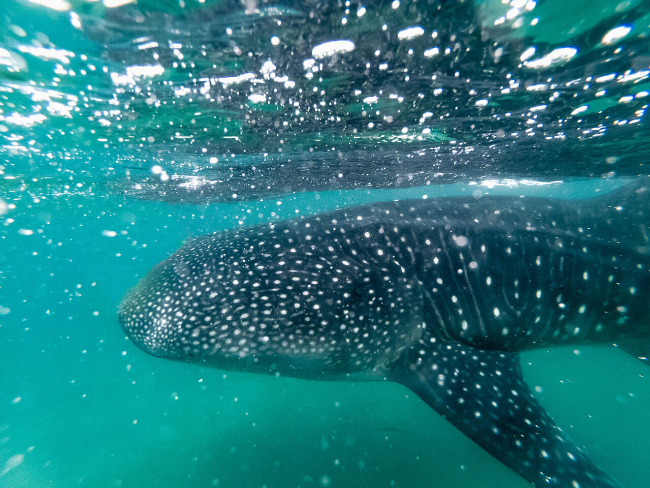 whale-shark-03.jpg