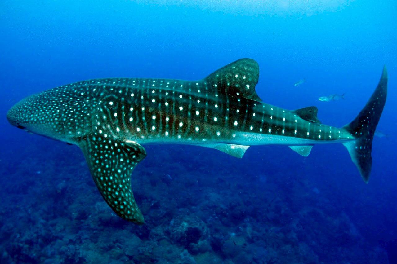 whale-shark-05.jpg