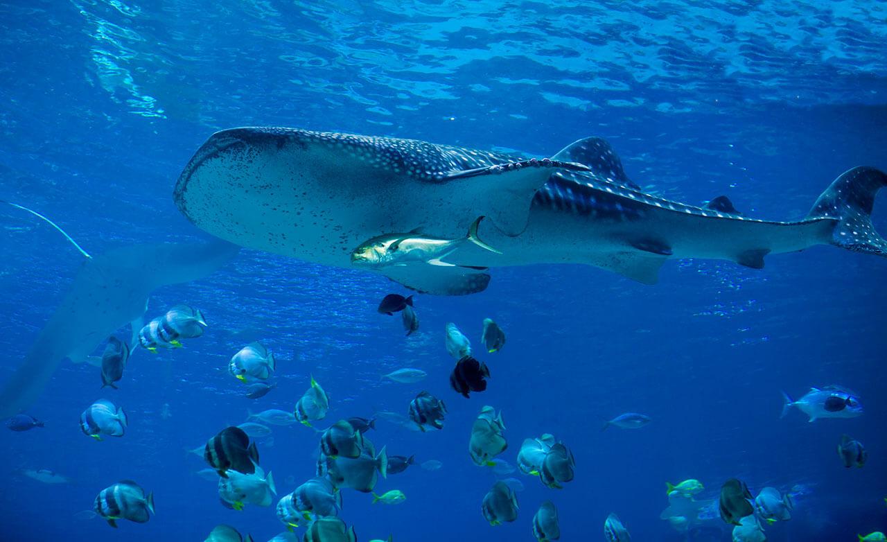 whale-shark-06.jpg