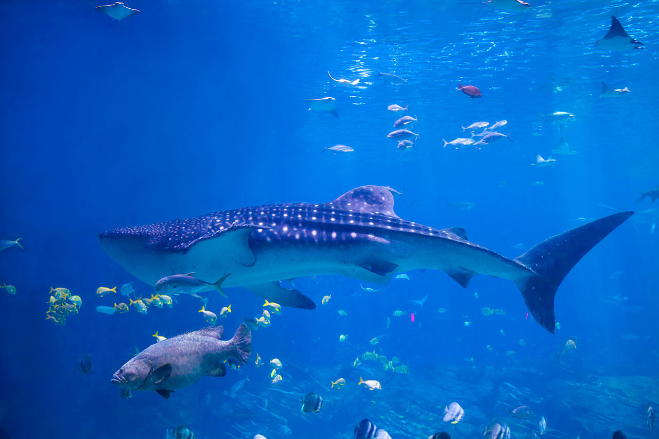 whale-shark-07.jpg