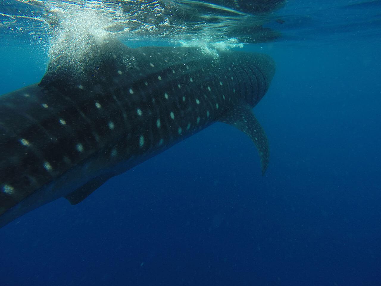 whale-shark-08.jpg