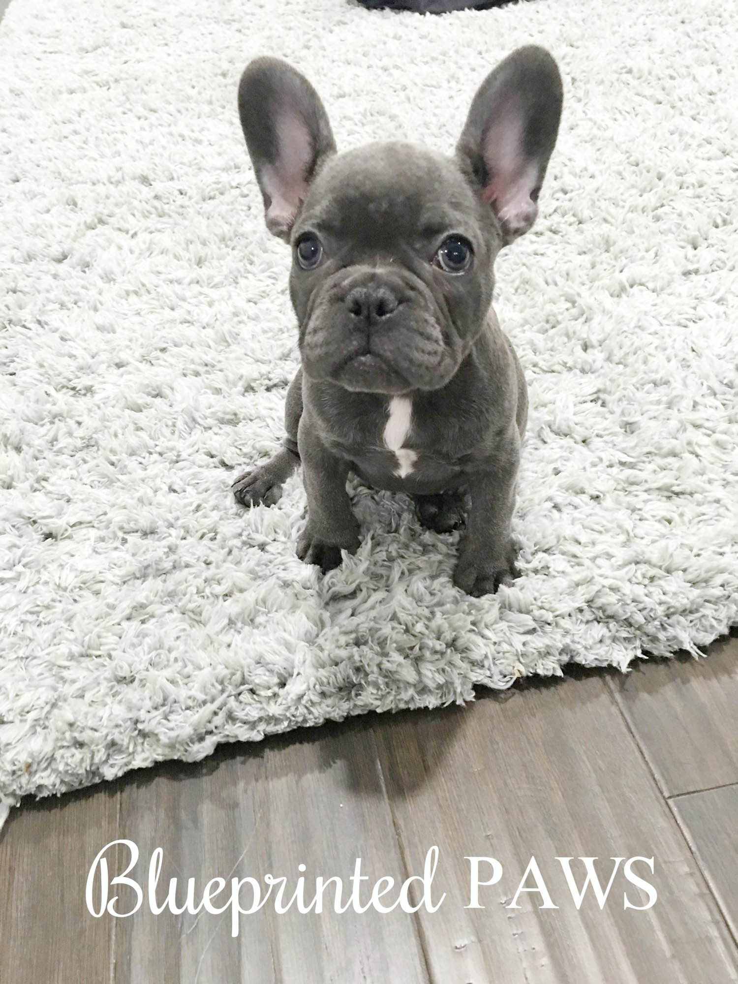 Home Blueprinted Paws Houston Texas Blue Frenchies French Bulldogs Puppies