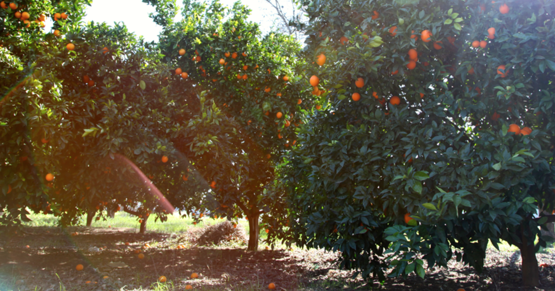 We have been growing citrus since the 1980's and our oranges are sustainably grown. Our orange season lasts from November through early/mid-summer. We believe that growing diverse varieties is essential to keeping a sustainable environment, it also gives our customers a choice to develop their preferences on varieties. Our spring season varieties include Trovita, Lane-Late Navels and Valencia Oranges. (Hover below to view citrus descriptions)