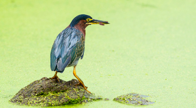 Picture: the relatively small Green Heron of North and Central America, famous for using bait to catch fish.