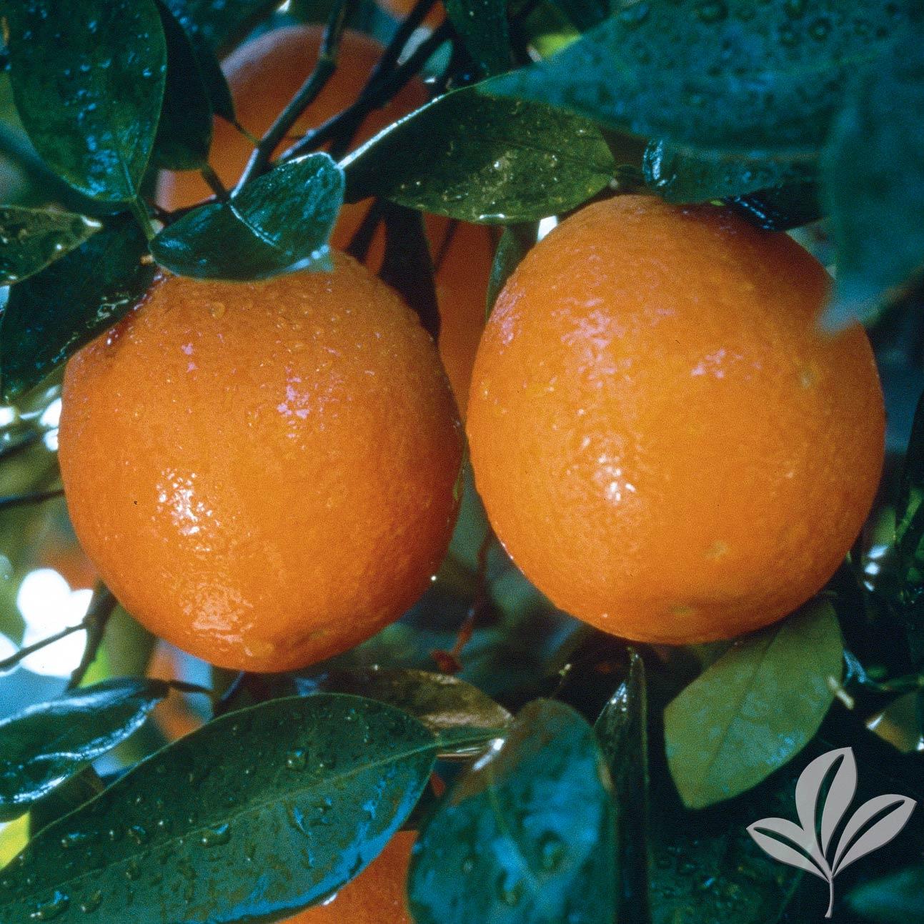 Hamlin LA Sweet Orange 1026533.jpg