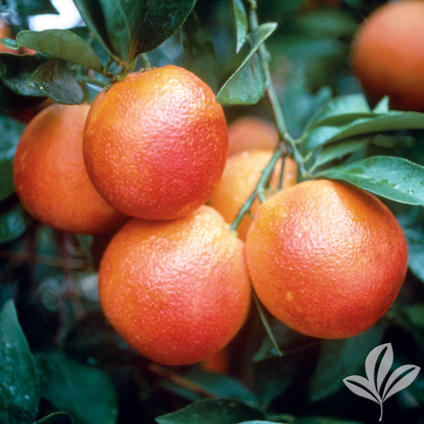 Moro Blood Orange 1026535.jpg