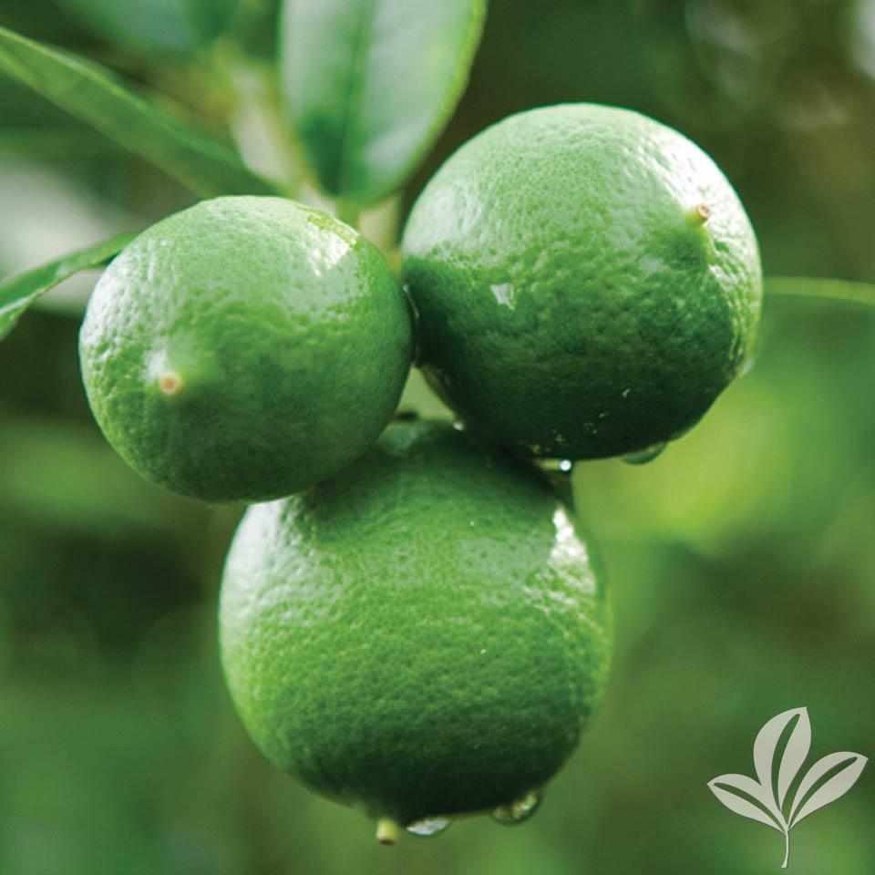 ThornlessKey-Lime.jpg