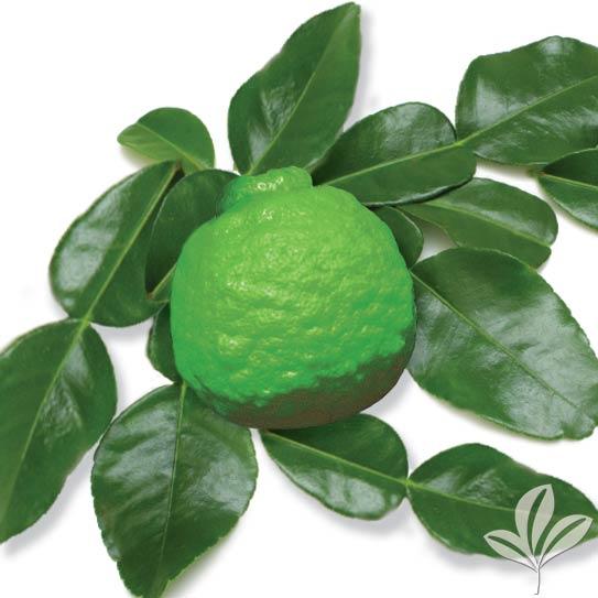 Kieffer Lime 1034841Alt.jpg