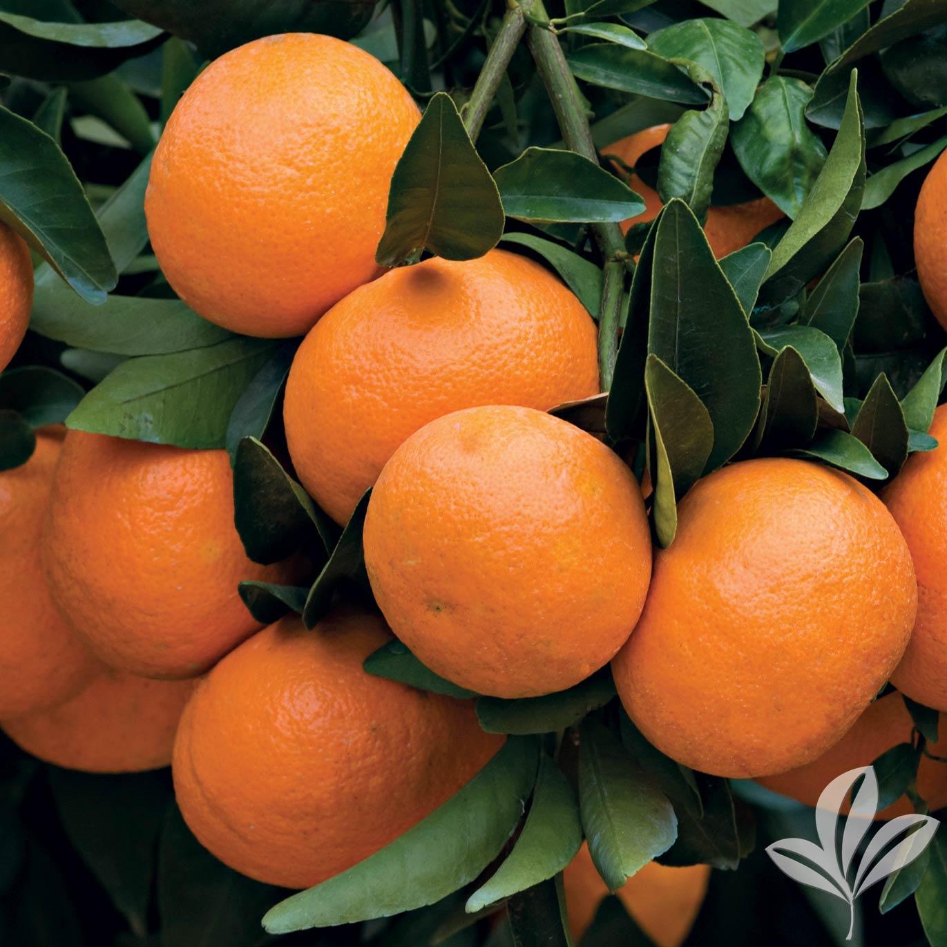 Dancy and Orlando Tangerine 1026539.jpg