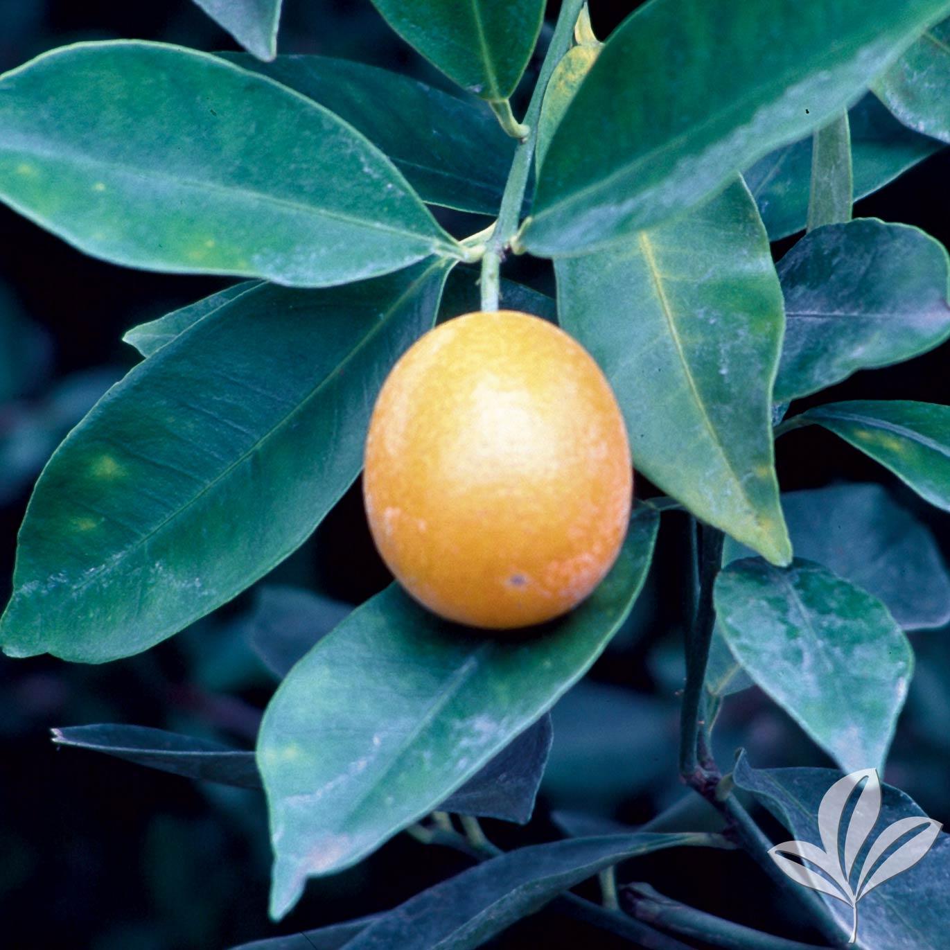 Sweet Kumquat 1026536.jpg