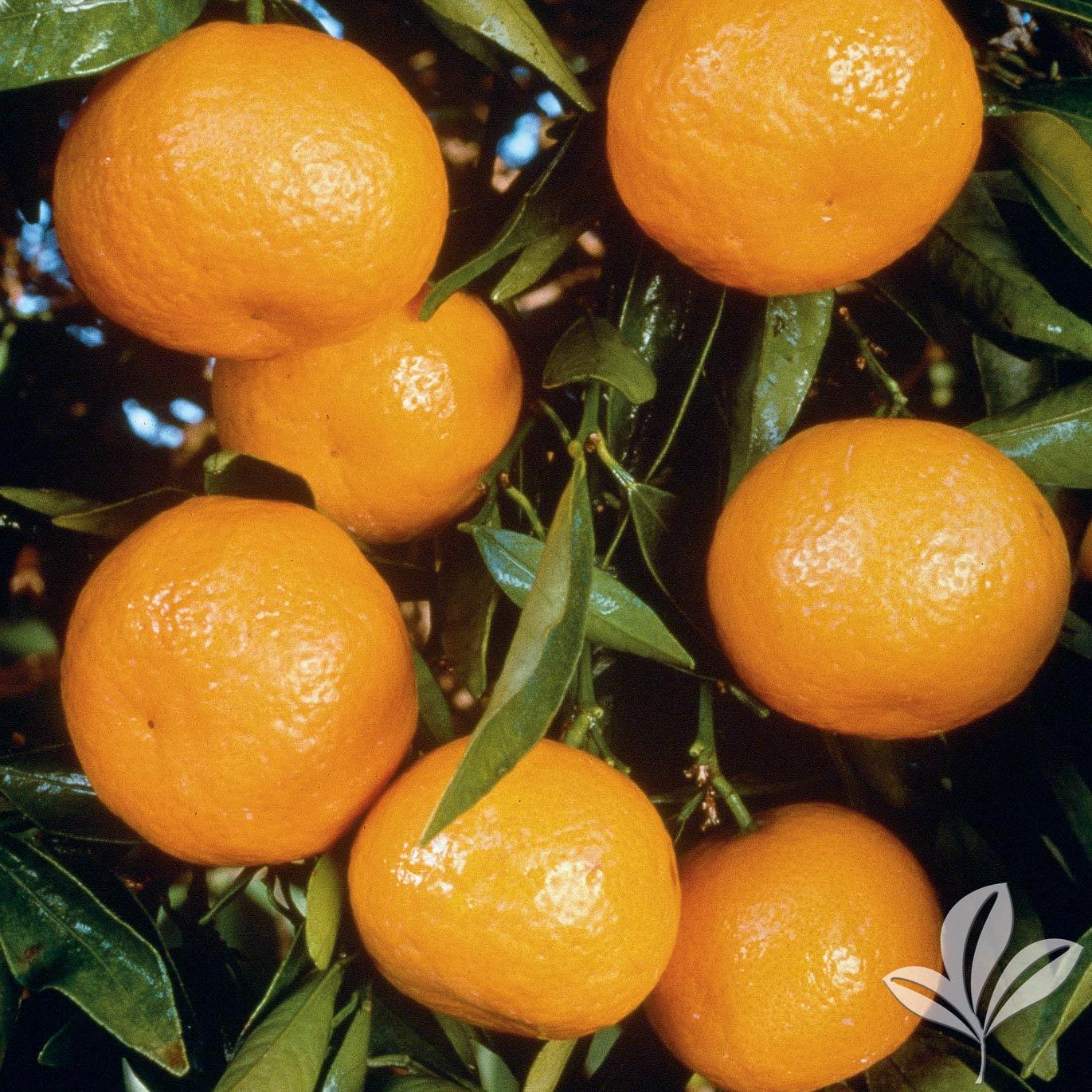 Ponkan Mandarin1026519.jpg
