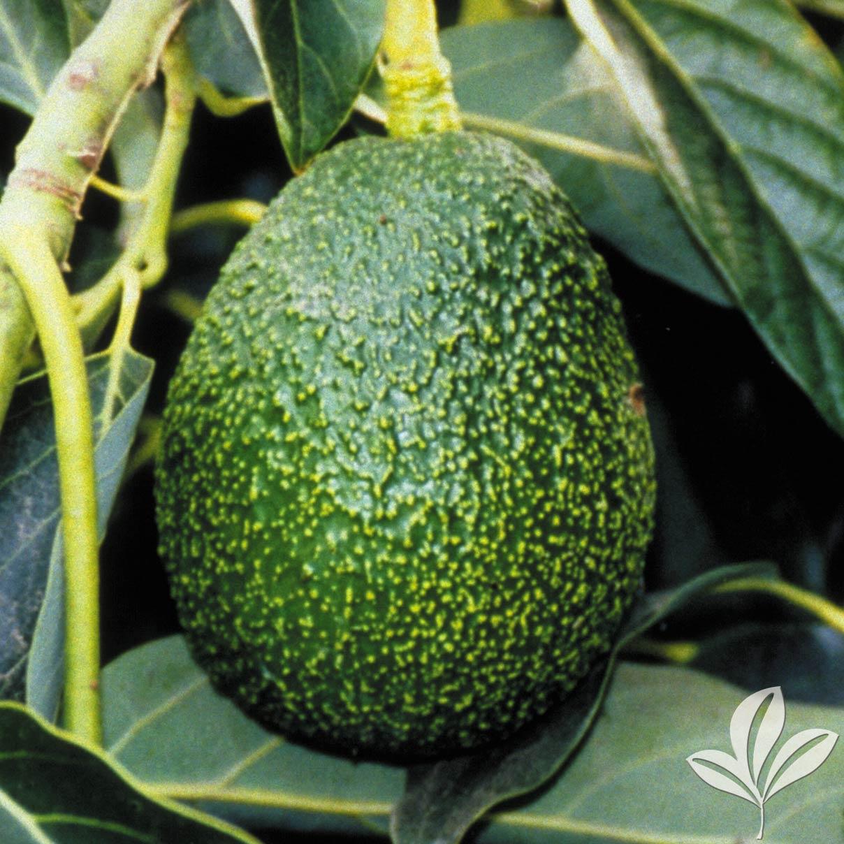 Fantastic Avocado 109826.jpg