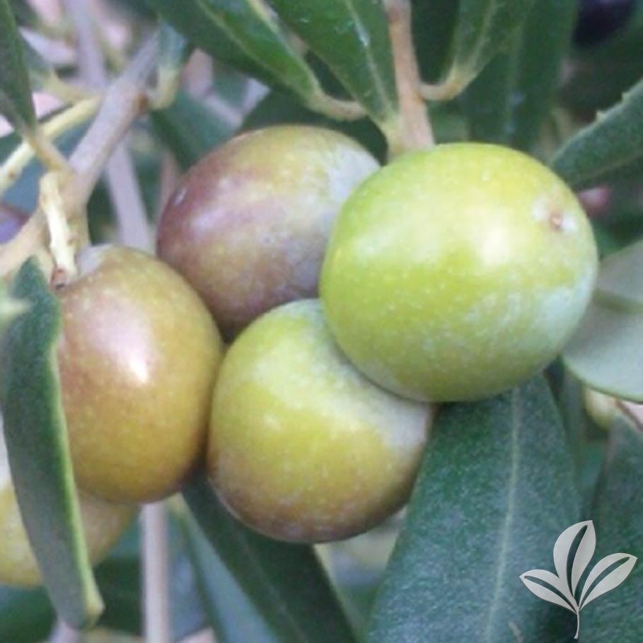 Arbequina-Olive.jpg