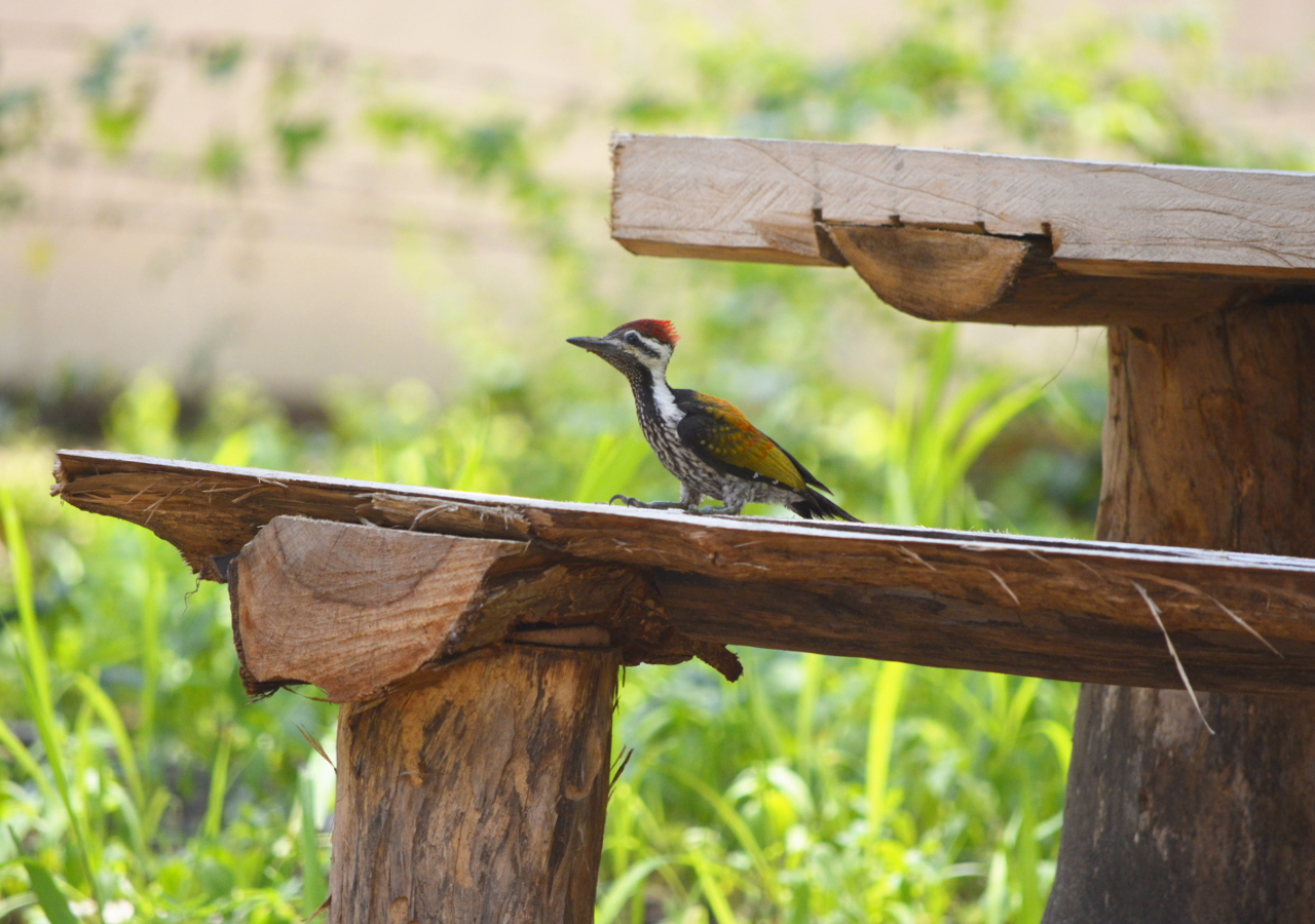 Black-Rumped Flameback Woodpecker on our Garden Bench