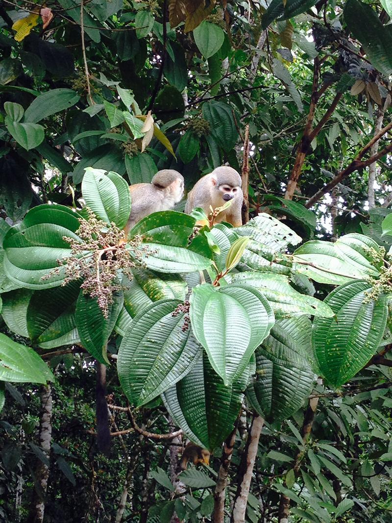 Spider monkeys in the Amazon rainforest