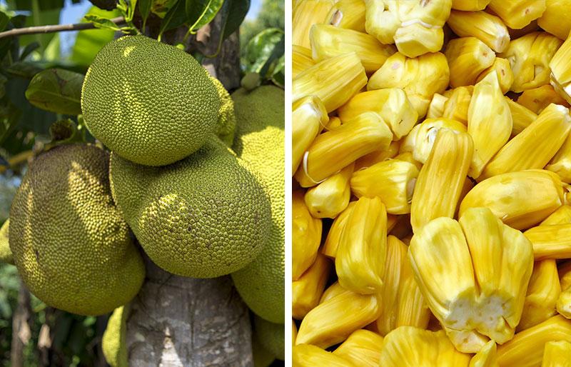 Whole jackfruit and its ripe fruit