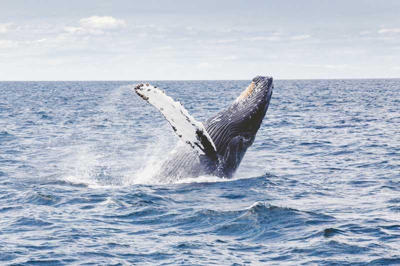 humpback-whale-1209297.jpg