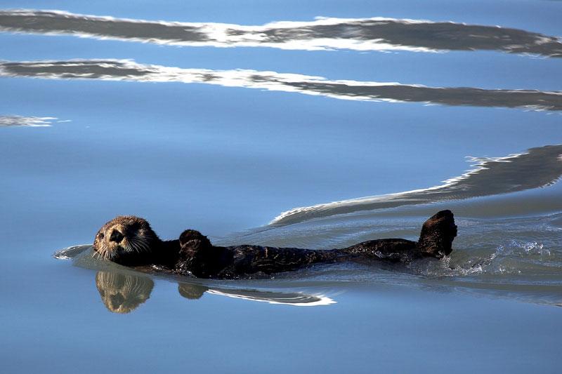 sea-otter-1405970_1920.jpg