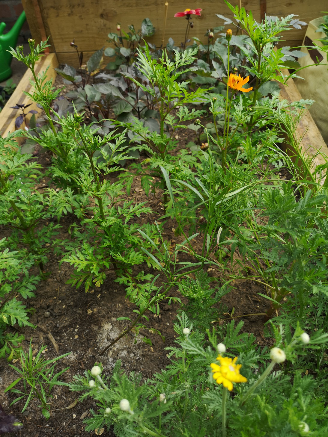 Dahlias, Cosmos and Dyer's Chamomile