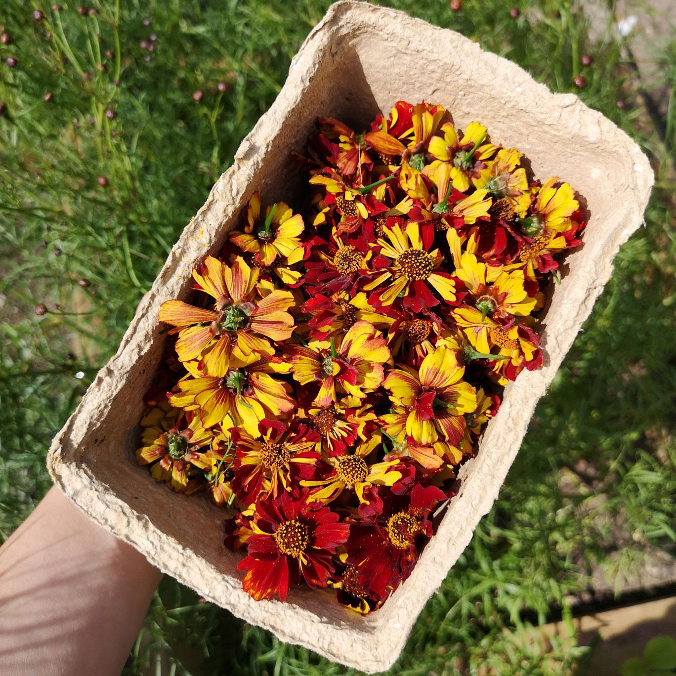 ria-burns-knitwear-coreopsis-tinctoria-roulette-flower-dye-1.jpg