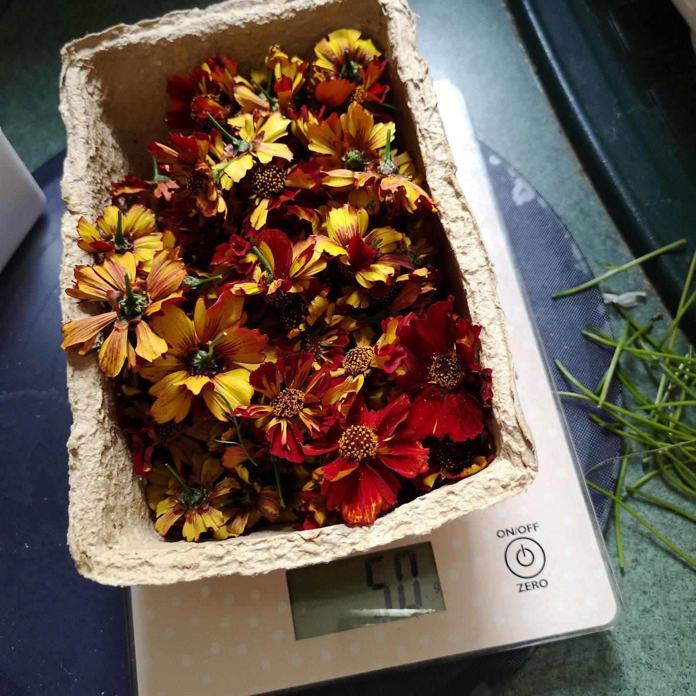 ria-burns-knitwear-coreopsis-tinctoria-roulette-flower-dye-2.jpg