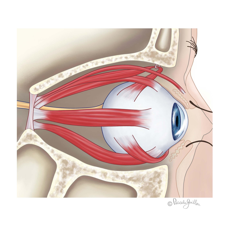 VisuXL VisuFarma Medical Illustration 2 Eye Cross-section  ©Pascale Guillou