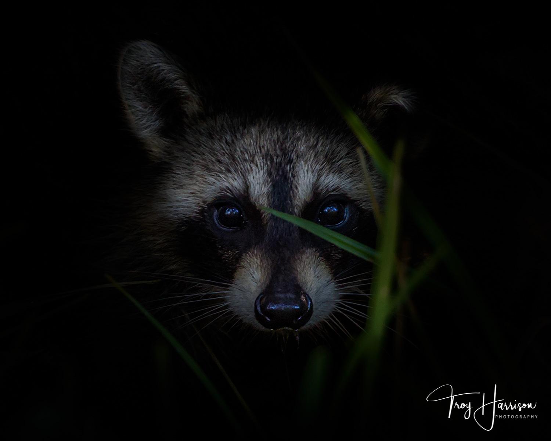 1 - Raccoon, Everglades 2016, img 710.jpg