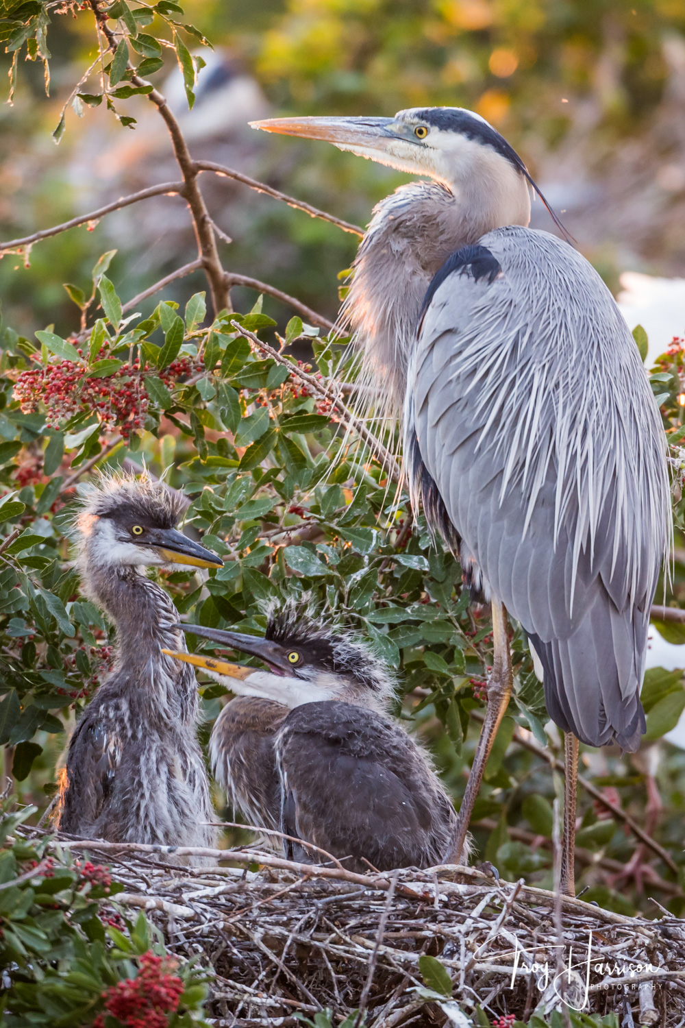 1 - Great Blue Heron Chicks, Everglades, Jan. 2019, img 2407.jpg