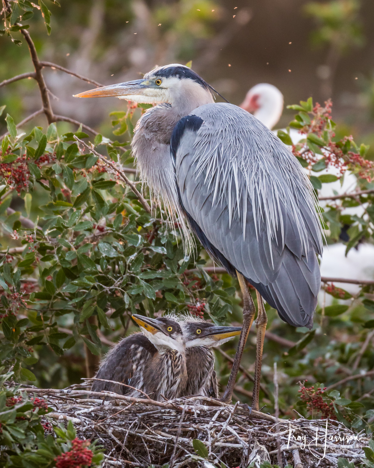 1 - Great Blue Heron Chicks, Everglades, Jan. 2019, img 2457.jpg