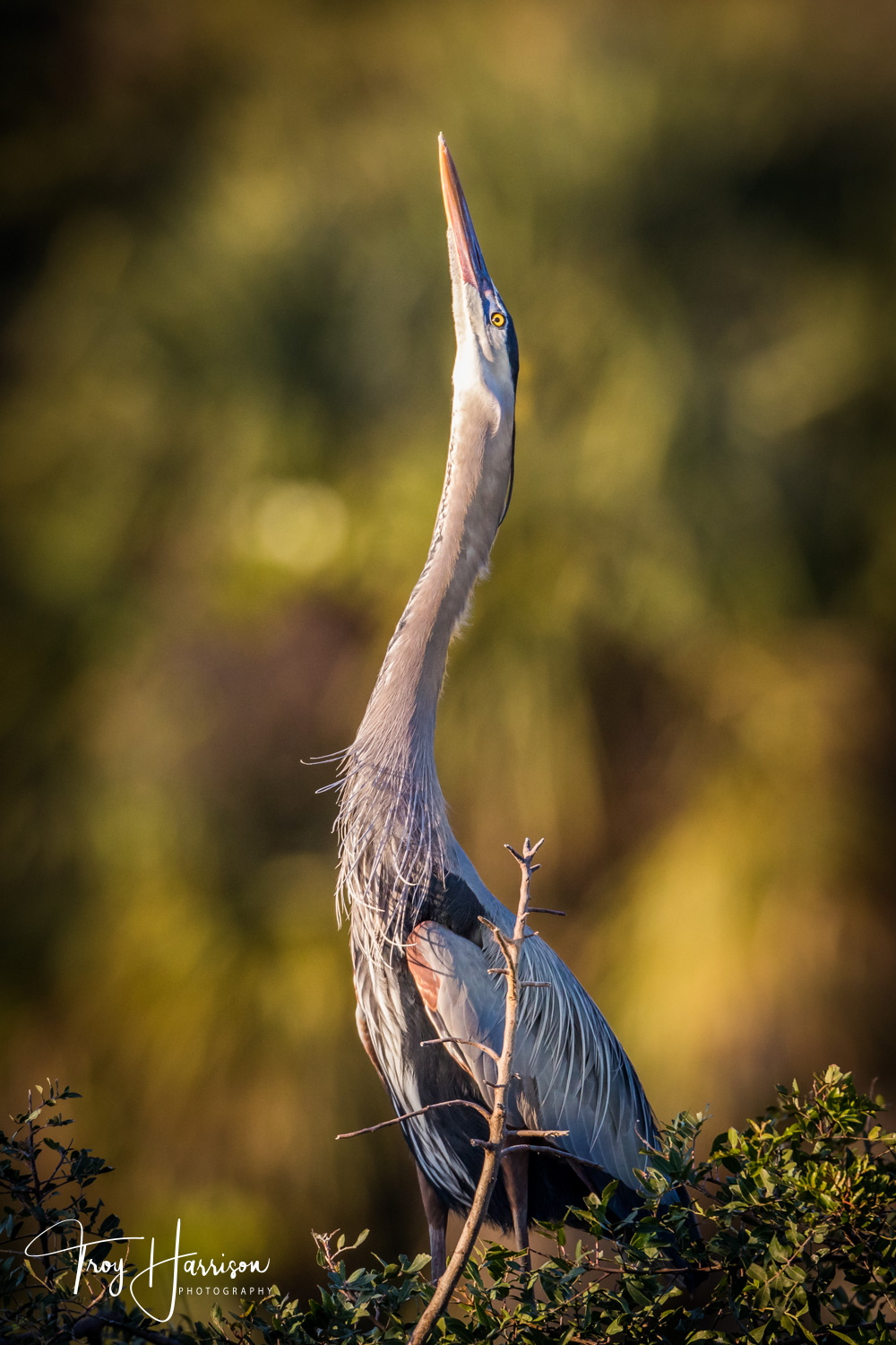 1 - Great Blue Heron, Everglades, Jan. 2019, img 3224.jpg