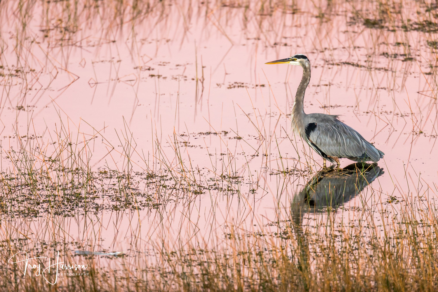 1 - Great Blue Heron, Everglades, Nov. 2018, img 520.jpg