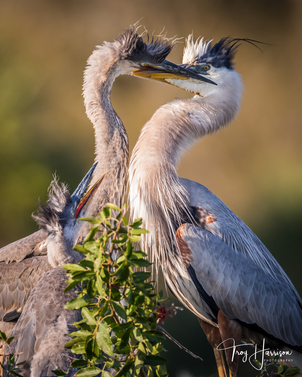 1 - Great Blue Herons, Everglades, Feb. 2019, img 109.jpg