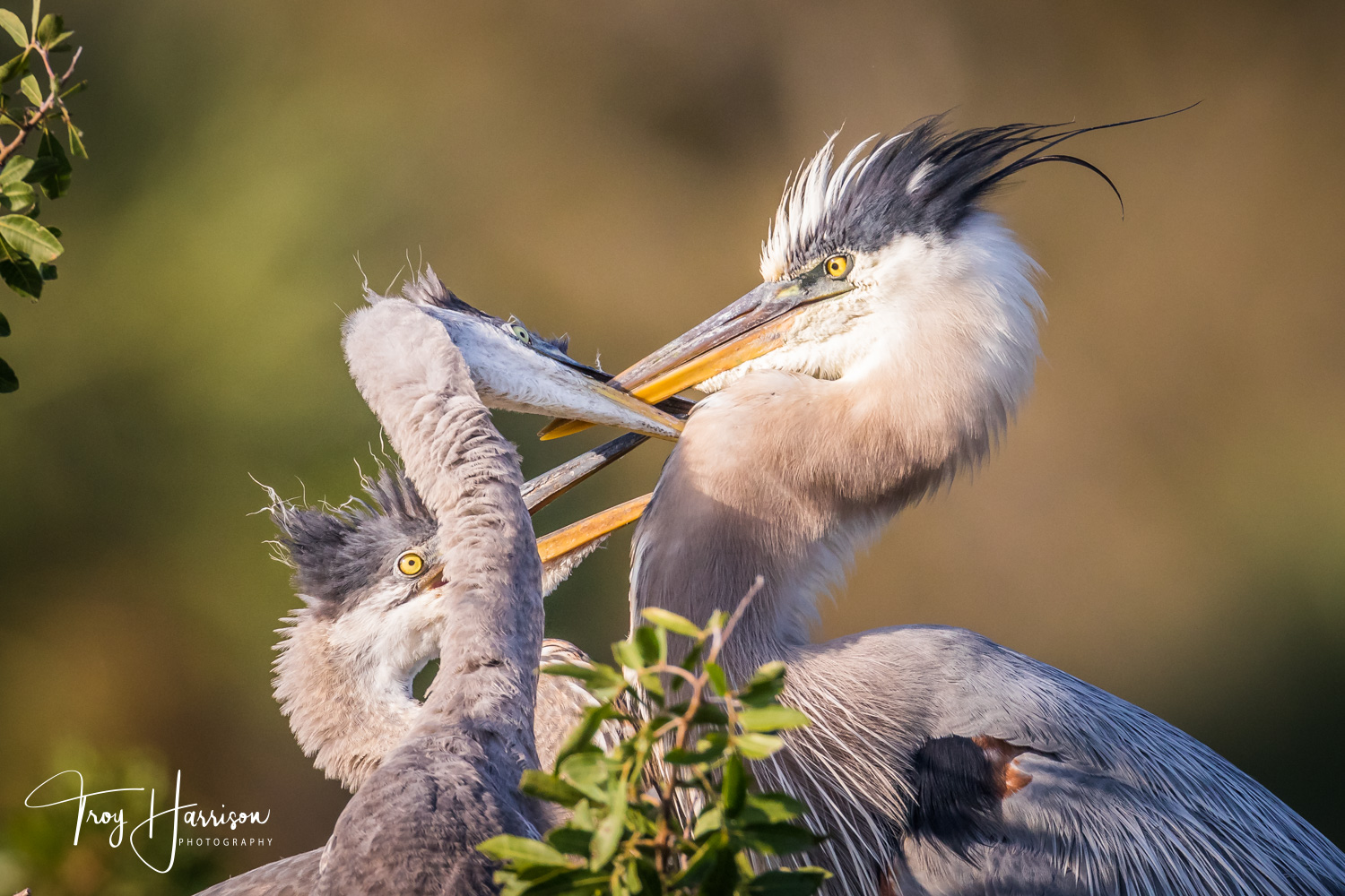 1 - Great Blue Herons, Everglades, Feb. 2019, img 146.jpg